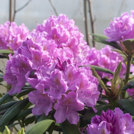 Rhododendron Hybride 'Roseum Elegans'