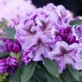 Rhododendron Hybr. 'Violette Funken'