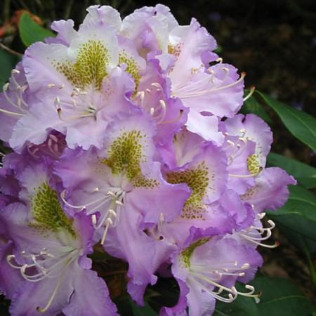 Rhododendron Hybr. 'Virginia Delp'