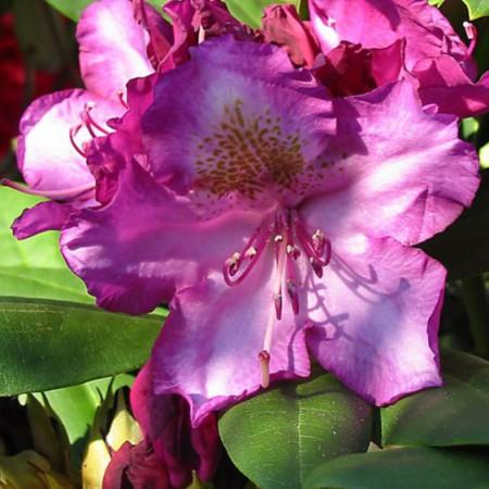 Rhododendron yakushimanum 'Bohlken´s Lupinenberg'