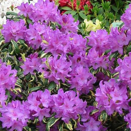 Rhododendron Hybride 'Carolina Spring'