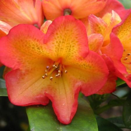 Rhododendron dichroanthum 'Abraxas'