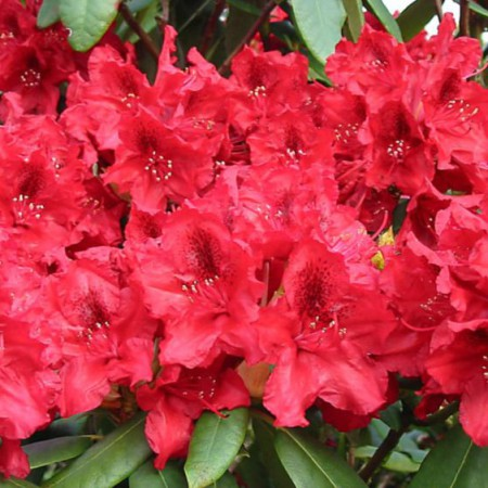 Rhododendron Hybride 'Erato'