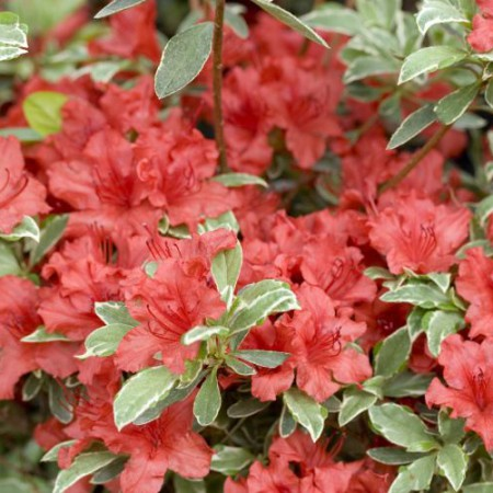 Rhododendron obtusum 'Hot Shot Variegated'