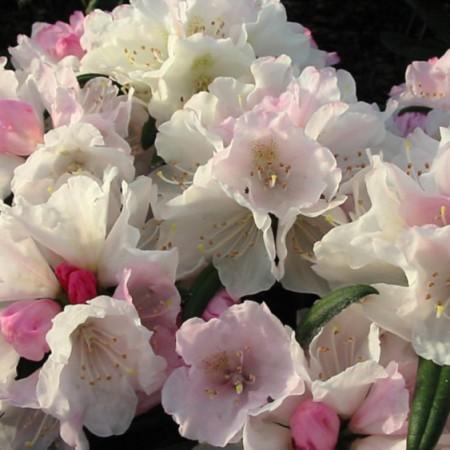 Rhododendron makinoi 'Makiyak'