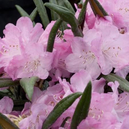 Rhododendron makinoi 'Jens Jörg Sörensen'