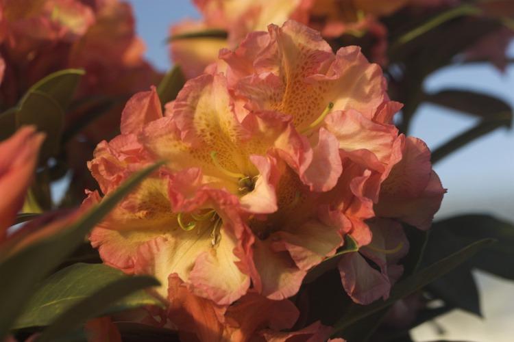 rhododendron hybride 39 orange flirt 39 baumschule nielsen. Black Bedroom Furniture Sets. Home Design Ideas
