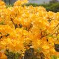 Rhododendron prinophyllum 'Golden Lights'
