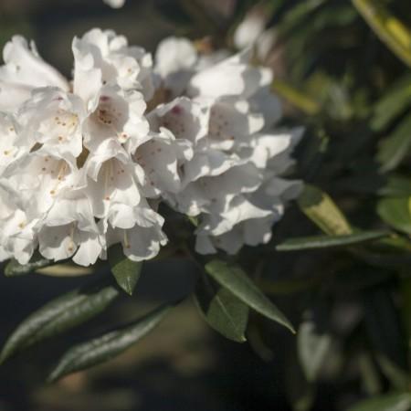 Rhododendron roxieanum 'Blewbury'