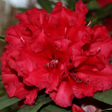 Rhododendron Hybr. 'Taurus'