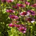 Echinacea 'Little Magnus'