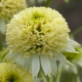 Echinacea 'Meringue'
