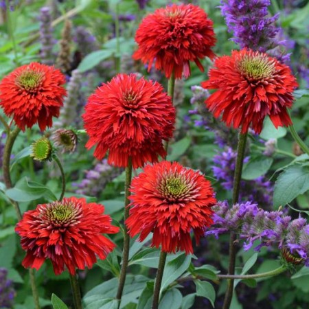 Echinacea 'Secret Love'