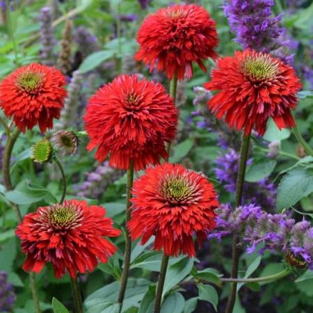 Echinacea 'Secret Love'
