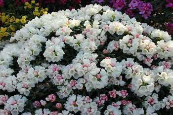 Rhododendron Yakushimanum Hybriden
