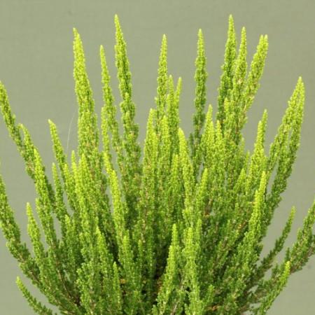 Calluna vulgaris 'Zelia'