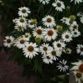 Echinacea 'Avalance'