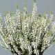 Calluna vulgaris 'Betty' GardenGirls ®