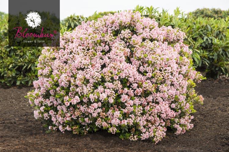 rhododendron micranthum bloombux baumschule nielsen. Black Bedroom Furniture Sets. Home Design Ideas