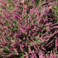 Calluna vulgaris 'Eckart Miessner'