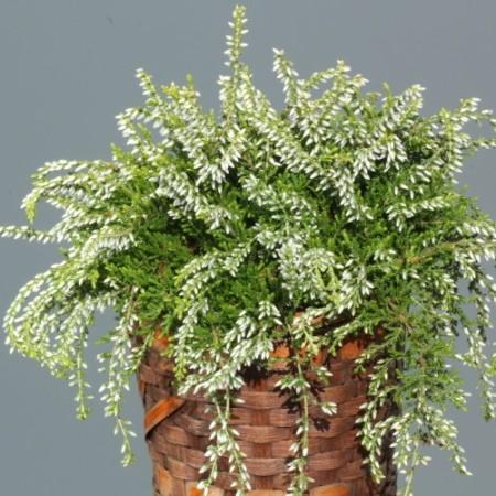 Calluna vulgaris 'Claire'