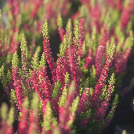 Calluna vulgaris 'Disco Queen'