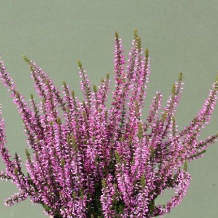 Calluna vulgaris 'Dunja' GardenGirls ®