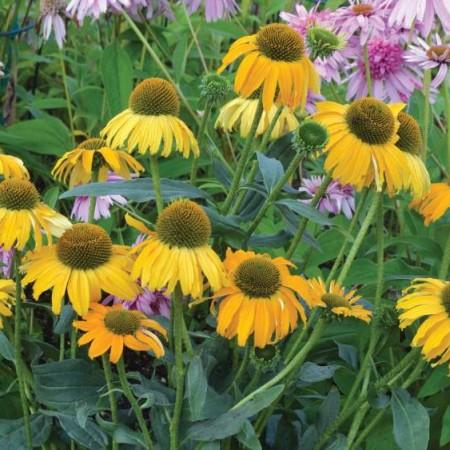 Echinacea 'Dixie Sun'
