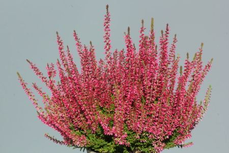Calluna vulgaris 'Franca' GardenGirls ®