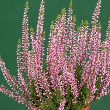 Calluna vulgaris 'Freya'