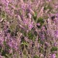 Calluna vulgaris 'Heidesinfonie'