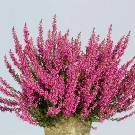 Calluna vulgaris 'Lilli'