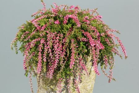 Calluna vulgaris 'Maite' GardenGirls ®