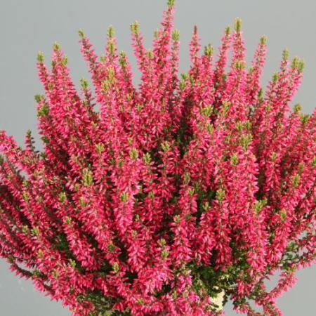 Calluna vulgaris 'Martina' GardenGirls ®