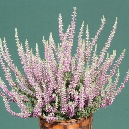 Calluna vulgaris 'Silvana'