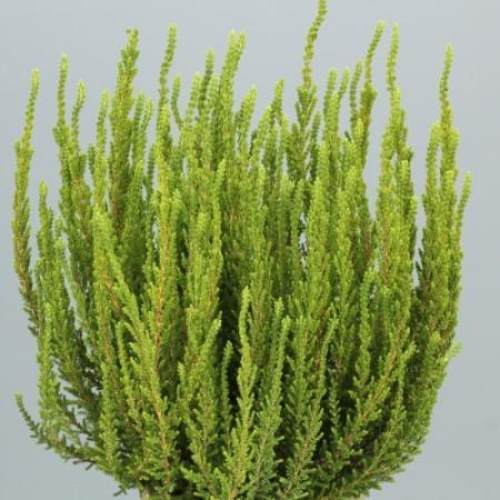 Calluna vulgaris 'Zelena'