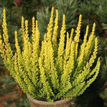Calluna vulgaris 'Zeta'