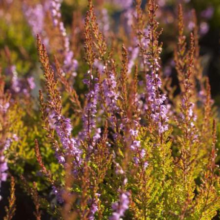 Calluna vulgaris 'Bispingen'
