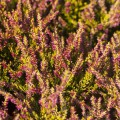 Calluna vulgaris 'Golden Angie'