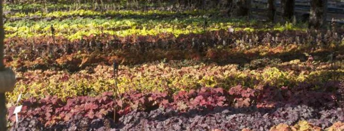 Heuchera in rot und orange
