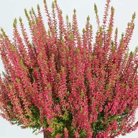 Calluna vulgaris 'Nora'