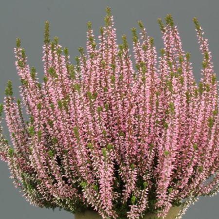Calluna vulgaris 'Pink Angie' GardenGirls ®