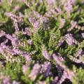 Calluna vulgaris 'Dart´s Amethyst'