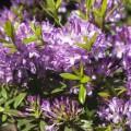 Rhododendron 'Govenianum'