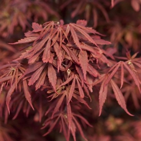 Acer palmatum 'Alpine Surprise'