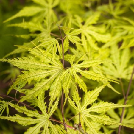 Acer palmatum 'Grandma Ghost'
