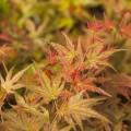Acer palmatum 'Hino tori nishiki'
