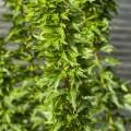 Acer palmatum 'Hupp's Dwarf'