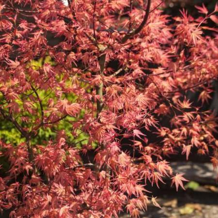 Acer palmatum 'Isobel'