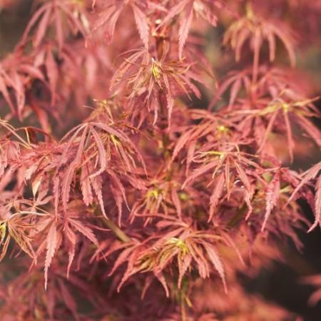 Acer palmatum 'Jerre Schwartz'